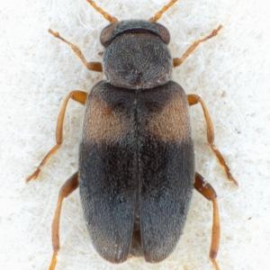 NGo1476 Mixaderus basithorax holotype dorsal