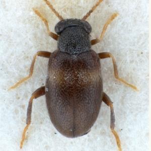 NGo1479 Mixaderus cinereofasciatus-male lectotype-montage