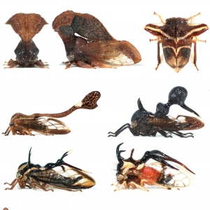 Membracidae (treehoppers)