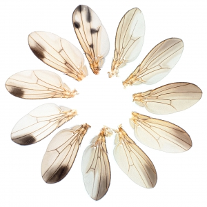Drosophila (Sophophora) male wings